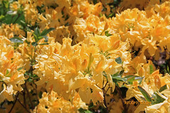 Rhododendron 77 (riccpics) Tags: trees fleurs garden botanical bush jardin arbres bloom botanique arbustre