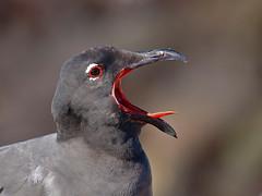 el grito (kozoga) Tags: ecuador gaviota galápagos larusfuliginosus gaviotadelava leucophaeusfuliginosus