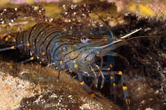 2010-08 HERBLAND MEDITERRANEE COMMON PRAWN PALAEMON SERRATUS 5497