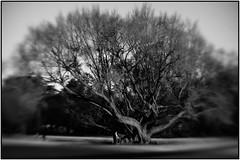 (Masahiko Kuroki (a.k.a miyabean)) Tags: bw tree lensbaby 新宿御苑 木 plasticoptic fujixe1