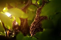 Swarming (davebugyi) Tags: sun tree green nature leaves animals closeup countryside nikon warm day branch bees sunny queen 300mm climbing honey gathering slovakia lightning tamron swarm swarming stings dolinka d5100