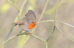Robin May Attempt The Grand Canyon Next Year - But For Now This Branch Will Do.... (Osgoldcross Photography) Tags: bird feet nature robin wings nikon funny raw branch action beak feathers naturalhistory perch balance perched quirky claws concentrate rspb nikond600 rspboldmoor