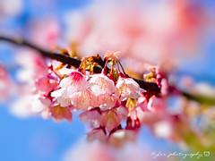 Sakura () Tags: park travel pink flowers trees light sky white plant flower macro tree castle nature japan garden cherry spring blossom bokeh blossoms taiwan sigma olympus apo  cherryblossom  sakura cherryblossoms    f28 cherrytree e30 cherrytrees     cherryblossomfestival     150mm sigma150mmmacro  sigma150mmf28  150mmf28 macroquot quotsigma sigmamacro150mmf28  sigmaapomacro150mmf28