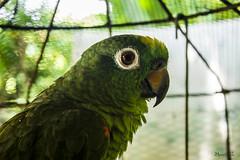 Loro (Marcela Toledo M) Tags: naturaleza animal loro huila neiva