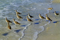 P1110544 (claymore2211) Tags: beach water birds looking many shore winner left shorebirds willet oddoneout friendlychallenges thechallengefactory