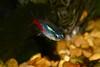 Fishy Macro (thoeflich) Tags: neontetra