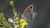 Maniola cypriaca   K br s  ay resmeri  endemik