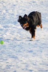 Run it down! (NetAgra) Tags: blue trees winter snow wisconsin ball jan canine catch jilly aussie dogpark stoughton australianshepard nikond7000