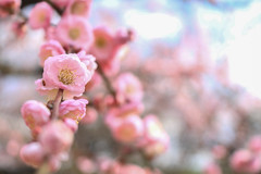 Pink plum blossoms (Yat Fai Ooi) Tags: pink flower nature japan canon spring bokeh blossoms plum pinkflower osaka osakacastle plumblossoms 700d canon700d t5i canont5i