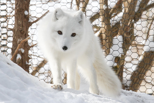 Arctic Fox by Mark Dumont, on Flickr