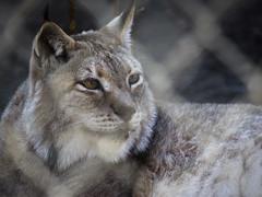 InSyncSanctuary09 (swirly) Tags: cats animals cat cateyes sanctuary lynx animalsanctuary wildcats siberianlynx
