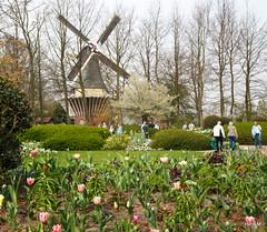 Molen (Henk M gardenphotoblog) Tags: spring tulips bulbs lente keukenhof nimg9744pse