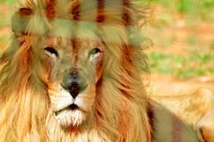 Scar of an old age (andredoreto) Tags: wild nature animal zoo feline lion felino leo zoologico