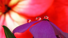 3 Drops on Vinca (uvaisjm - Al Seylani Photography) Tags: macro closeup dewdrops droplets flora refraction waterdrops vinca