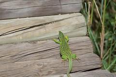 Lézard vert (Lacerta viridis )  IMG_1398 (6franc6) Tags: 30 languedoc petite gard camargue 2014 6franc6