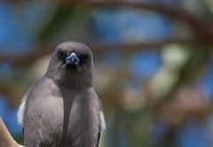Dusky Woodswallow (Artamus cyanopterus)-5835 (rawshorty) Tags: birds australia canberra act jerrabomberrawetlands rawshorty
