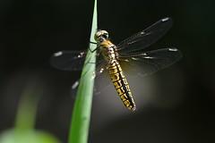 Lyriothemis pachygastra (myu-myu) Tags: nature japan insect nikon dragonfly mygarden  d800   afsvrmicronikkor105mmf28g  lyriothemispachygastra