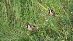 Goldfinch/distelvink/putter (Manon van der Burg) Tags: nature goldfinch birding polder lente vogel putter vogelen distelvink