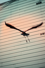 Heron in Flight with Wall (CarbonNYC [in SF!]) Tags: sf sanfrancisco california urban bird feet heron wall flying flight bayarea soma wingspan greatblueheron carbonnyc howardlangton carbonsf
