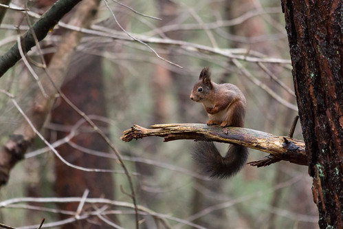 Eurasian red squirrel / Ekorre (Sciurus vulgaris)