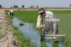 risaiee (quintaainveruno) Tags: verde cielo piante agricoltura adulto risaie lavorare crescita solouomini raccolto caucasico lucesolare composizioneorizzontale
