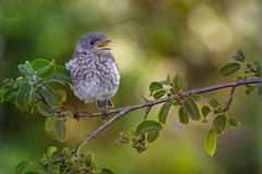 Baby Bluebird (Phiddy1) Tags: baby toronto ontario canada birds ngc npc bluebird easternbluebird