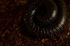 Meet Dorien (Triplewhip) Tags: giant african millipede terrarium arthropoda gigas myriapoda diplopoda afrikaanse miljoenpoot archispirostreptus reuzenmiljoenpoot