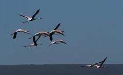 Flock Of Flamingos On The Flight (Jan-Krux Photography) Tags: life lake nature water fauna hoop de southafrica see mond natur flock flamingos olympus birdsinflight cape bif voegel westerncape environments dehoopnaturereserve em1 suedafrika agulhas tierwelt westkap demondnaturereserve naturreservate voegelimflug