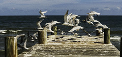royal terns taking off (Ms Stacy) Tags: ocean seagulls birds belize caribbean oilpaint terns hopkinsbelize