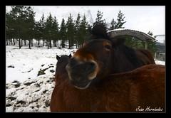 3814c (Pag...Juan Hernndez) Tags: white caballos nikon juan nieve monte bizkaia hernandez d610 amboto