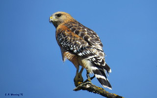 Western Red-shouldered Hawk 1911