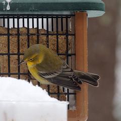 Pine Warbler (aurospio) Tags: snow bird massachusetts