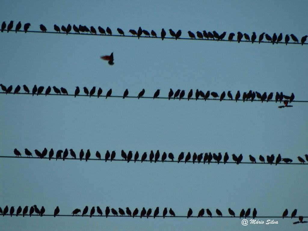"""Águas Frias (Chaves) - ... uma """"pauta musical"""" de chilreios de pássaros ..."""