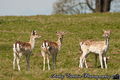 2016-05-04-027 (Andy Beattie Photography) Tags: uk england nature mammal photography europe photographer wildlife yorkshire deer fallowdeer halifax ungulate northyorkshire westyorkshire ripon eventoed pecora damadama hoofed andybeattie andybeattiephotography