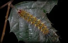 Anthela sp. (dustaway) Tags: nature rainforest australia lepidoptera nsw arthropoda rotarypark lismore insecta northernrivers australianinsects anthela australianmoths anthelidae