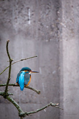 Kingfisher on a branch (Cloudtail the Snow Leopard) Tags: bird animal zoo basel kingfisher common tier vogel alcedo atthis eisvogel