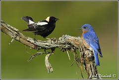 Bob and Billy... (read on) (Earl Reinink) Tags: bird nature nikon earl bluebird easternbluebird naturephotography birdphotography bobolink nikond5 earlreinink reinink tozdhuodra