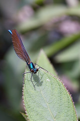 The Beautiful demoiselle damselfly came back #1 (Lord V) Tags: macro bug insect demoiselle damselfly