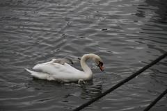 _MG_6880 (Mitya Adamsky) Tags: boat brentford swan cygnets