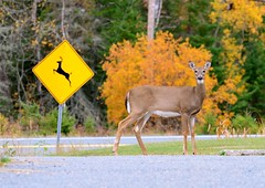 Deer Crossing (htaylor27) Tags: autumn ontario canada fall nature sign highway crossing wildlife doe resort deer narrows whitetailed sioux tomahawk