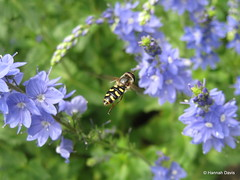 Hoverfly (Syrphidae) (Hannah E. Davis) Tags: black animal yellow insect fly mimicry striped pollinator