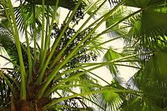 palm (arecaceae) (DOLCEVITALUX) Tags: flowers flower tree fruits fauna flora philippines palm arecaceae