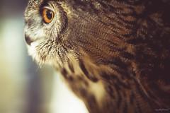 Eagle Owl (sp4rty) Tags: france bird owl f2 135 var toulon eagleowl revest 135mmf2 5d3 canon5dmark3