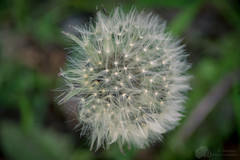 Dandelion Clock (A.Tongue Photography) Tags: flower spring leicestershire leicester dandelion seeds beacon beaconhill springtime dandelionclock