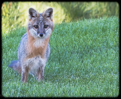 Mr. Gray Fox - Gray Summit (Franklin County, MO) (Fotos by M) Tags: us nikon unitedstates sigma missouri fox foxes grayfox franklincounty miguelacosta nikond500 missouriphotographers sigma150600mm fotosbymi