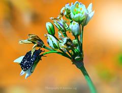 beetle (@Katerina Log) Tags: plant flower macro nature insect bokeh outdoor beetle depthoffield tamron florafauna sonya77 90mmf28macrossm katerinalog