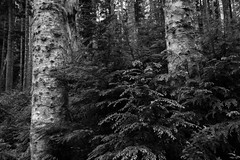 Forest awakening (Heather Smith Photography) Tags: trees bw washington evergreen bark mountainloophighway silverfirs