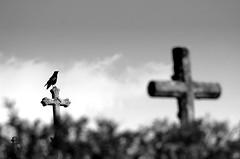 Le gardien (Claude Bour) Tags: bw blur bird cemetery cross raven