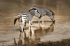 Zebras (Sheldrickfalls) Tags: southafrica zebra mpumalanga zebras plainszebra burchellszebra lydenburg kuduranch kuduprivatenaturereserve kudugameranch