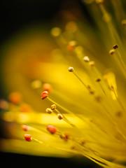 * (t*tomorrow) Tags: flower olympus explore   omd em10 35mmf35